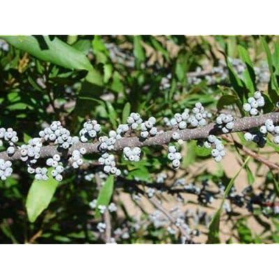 Myrica cerifera SOUTHERN WAX MYRTLE Seeds! NATIVE! : Garden & Outdoor