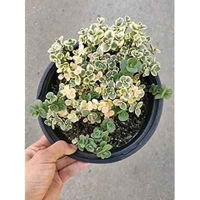 "Fresh Rare Succulent Plant Echeveria Cupid Shown in 6"" Pot Easy Grow #SDP01YN : Garden & Outdoor"
