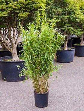 Bambus China Rohrgras Ca 90 Cm Balkonpflanze Winterhart