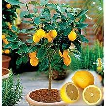 Flourish Shop® 50 Pcs Bonsai Tree Lemon Seeds Tree Seeds Fruit Garden