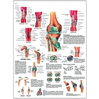 "3B Scientific VR3174UU Glossy Paper La Articulacion De La Rodilla Anatomical Chart (Knee Joint Anatomical Chart, Spanish), Poster Size 20"" Width x 26"" Height"