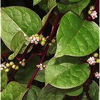 Plentree Espinaca de Malabar 10 Semillas orgánicas (rojo