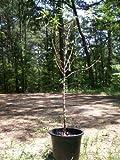 Hall's Hardy Almond Nut Tree Live Healthy 4'-5' Trees Home Grown Almonds Plants