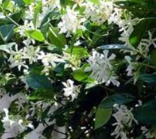 Confederate Jasmine Evergreen Fragrant Vine Plants (1 ()