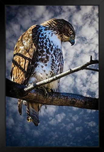 (Central Park Red Tail Hawk by Chris Lord Photo Art Print Framed Poster 14x20 inch)