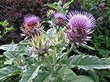 Cardoon - 4 Plants - Cynara cardunculus -Artichoke Thistle/Cardoni/Carduni/Cardi