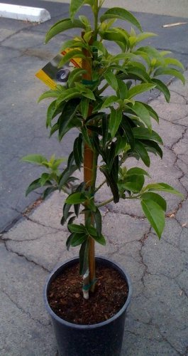 stuart-avocado-tree-shipped-in-soil-five-gallon-container