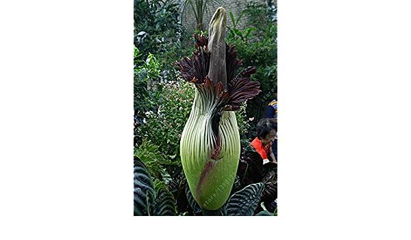 5seeds / flor bolsa de cadáver, Titan Arum, semillas de flores, bonsai hermosa
