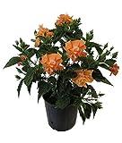 AMPLEX Hibiscus Live Plant, 3 Gallon, Double Peach Bloom