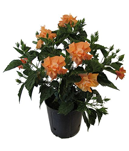 Amazoncom American Plant Exchange Hibiscus Live Plant 3 Gallon