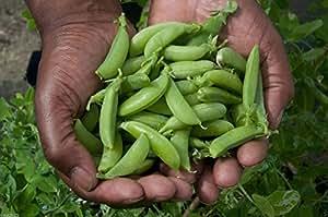 Organic Sugar Ann Snap Pea-Untreated-All-America winner 1lb approx 2,200 Seeds