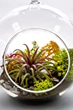 "Air Plant Terrarium Kit | Desert Bloom | Natural Accents Series | Complete Tillandsia Gift Set | 4"" Glass Globe | Nautical Crush Trading TM"