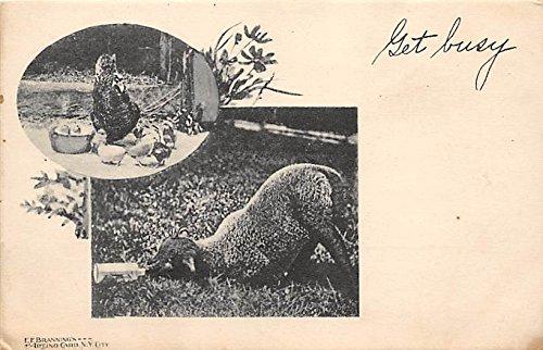 Farm Animals Misc. Sullivan County, New York, Postcard