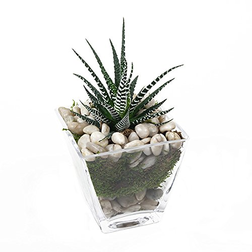 PlantShed - Aloe in Glass - Plant Hand Delivery in NYC Indoor Plants - Glasses Nyc In