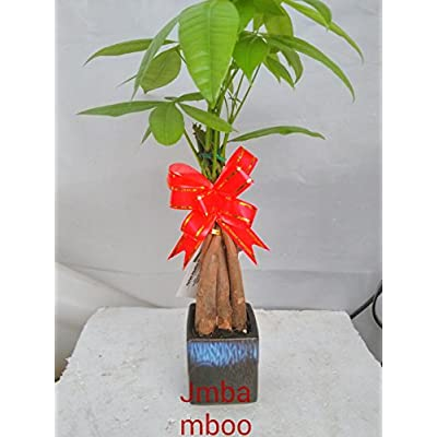 Live Lucky 5 Braided Money Tree Into 1 Pachira with Handmade Ceramic Pot Plants Lucky for 2015 -jmbamboo : Everything Else
