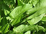 Common Sorrel Rumex Acetosa Seeds 450 Seeds