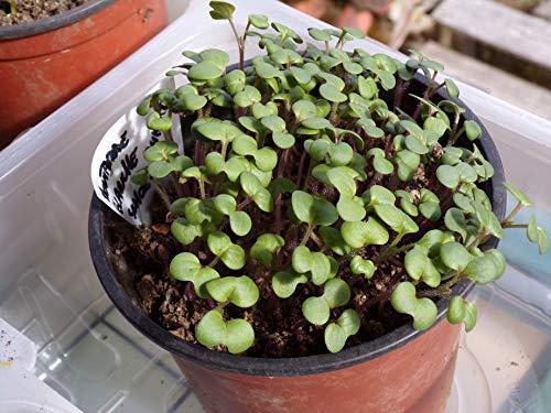 Mostaza blanca Rumba - 500 gramos - Sinapis Alba L. - White ...