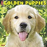 Just Golden Puppies 2020 Wall Calendar (Dog Breed Calendar)