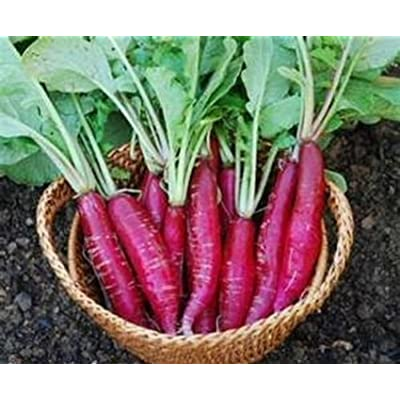 CHINA ROSE RADISH Chinese Winter Vegetable 100 Seeds : Garden & Outdoor
