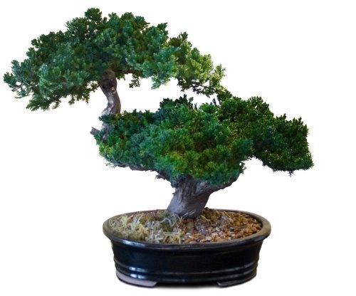 Forever Green Art Preserved Monterey Bonsai, Double