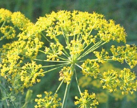Seeds Bouquet Dill Get 250 Seeds #TSP01NS (Bouquet Dill Seeds)