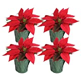 Costa Farms Live Red Christmas Poinsettia, 8 to 10-Inches Tall, Ships in Green Mylar Cover, 4-Pack, Fresh From Our Farm, Great Holiday Decoration