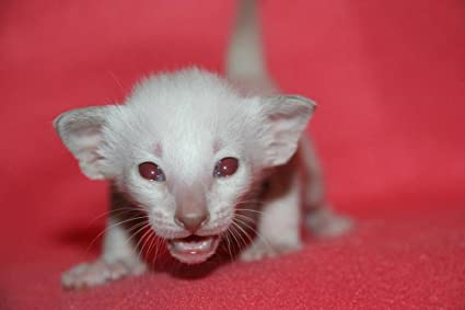 Amazoncom Laminated 36x24 Inches Poster Cat Kitten Siamese Cat