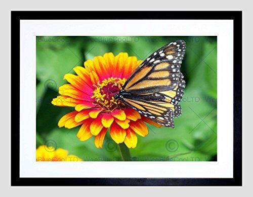Nature Butterfly Monarch Flower Pollen Insect Black Framed Art Print B12X4033