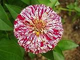 Peppermint Sticks Zinnia - 30 Seeds, 1.5 g