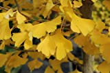 Ginkgo Biloba Autumn Gold 1 - Year Graft