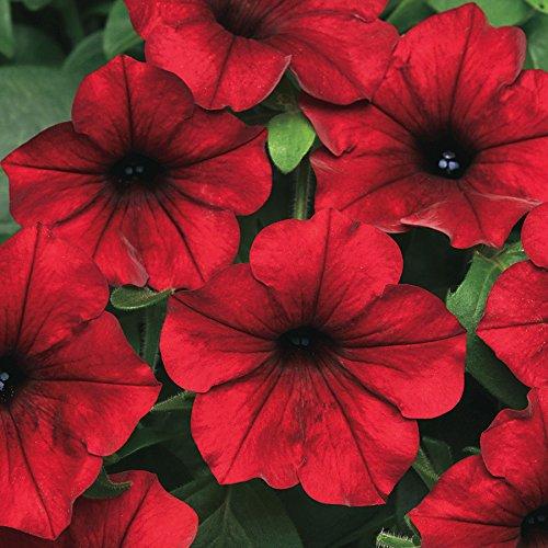 Plant Petunia Seeds - Park Seed Tidal Wave Red Velour Petunia Seeds