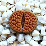Lithops hookeri vermiculate form c336 rare living stones exotic mesembs 15 SEEDS