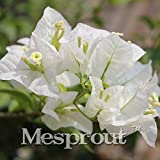 100 PCS/bag White Bougainvillea Spectabilis Seeds Sementes De Flores Perennial Flowering Plants Bonsai Plant Seeds