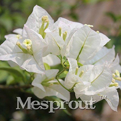 100 PCS/bag White Bougainvillea Spectabilis Seeds Sementes De Flores Perennial Flowering Plants Bonsai Plant Seeds - Flowering Bougainvillea Bonsai