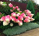 he vanilla strawberry hydrangea (hydrangea paniculata 'Renhy') is a beautiful French hybrid that is well-loved for its romantic coloring and large, pointed flower clusters. This plant is a wonderful choice for anyone who wants a landscaping p...