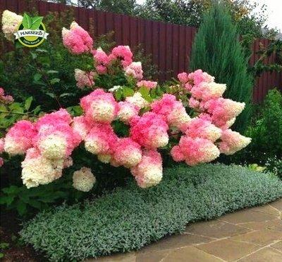 Amazon.com: 50 Vanilla Strawberry hydrangea Flower Seeds for ...