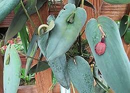Pleurothallis lynniana from the Orchid family .