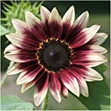 Package of 25 Seeds, Cherry Rose Sunflower (Helianthus annuus) Non-GMO Seeds by Seed Needs