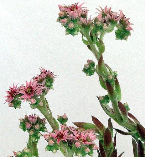 Hens & Chicks Collection 3 Live Plants -Sempervivum ...