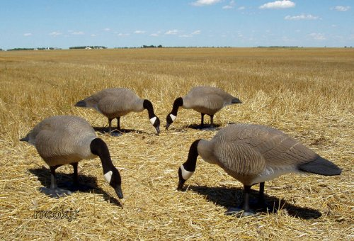 Big Foot Full Body Goose Decoys - Feeders