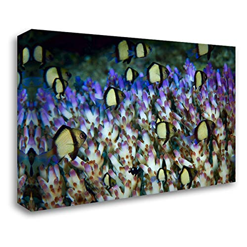 - Indonesia Humbug Fish in acropora Coral Colony 38x27 Gallery Wrapped Stretched Canvas Art by Shimlock, Jones