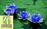 Liveseeds - Bonsai Lotus/water lily flower Bowl-Pond /5 Fresh seeds/Perfume Mini Blue Lotus