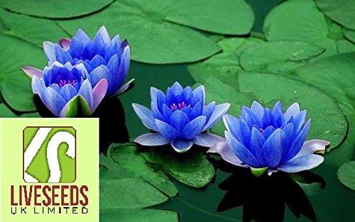 Liveseeds - Bonsai Lotus/water lily flower Bowl-Pond /5 Fresh seeds/Perfume Mini Blue ()