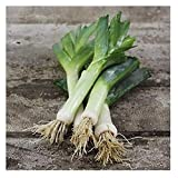 David's Garden Seeds Leek American Flag SV111 (White) 200 Heirloom Seeds