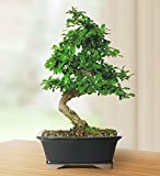 "Brussels Live Fukien Tea Indoor Bonsai Tree - 6 Years Old; 6"" to 10"" Tall with Decorative Container"
