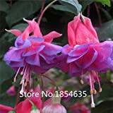 Hardy Shrub Climbing Fuchsia 'Pink Fizz' Flower Seeds, Professional Pack,100 Seeds / Pack, Bonsai Seed
