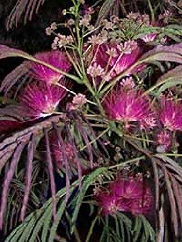 Albizia Summer Chocolate Purple Mimosa Tree ()