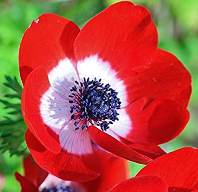 Single Red Anemone His Excellency - 20 Big Bulbs - 7/8 cm - GREAT Cut Flowers & Attractive to Butterflies!