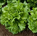 """Green Ice"" Lettuce Seeds! - 500+ Heirloom Seeds in Packet! - SPRING SALE!- (Isla's Garden Seeds) - NON GMO! CT ORG! 99.4% Purity! 85% Germination!- Total Quality!"