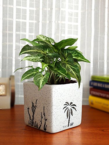 Rolling Nature Good Luck Air Purifying Live Green Syngonium Plant...